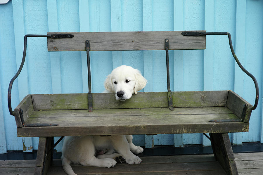 Horizontal Photograph - Golden Retrieven Puppy by Mikael Törnwall