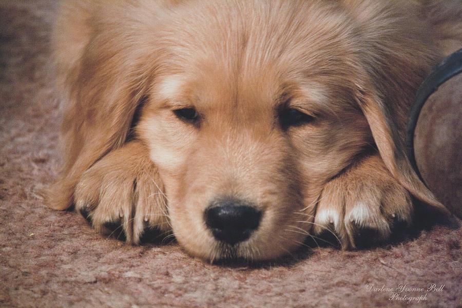 Buy Golden Retriever Puppies For Sale In Victoria Australia