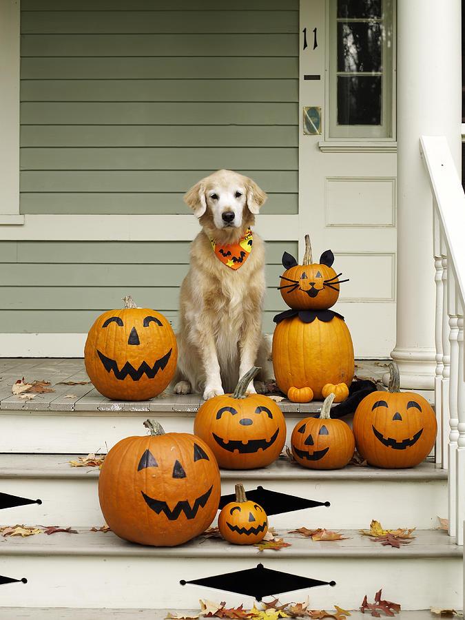 golden retriever with halloween pumpkins on porch photograph by james baigrie