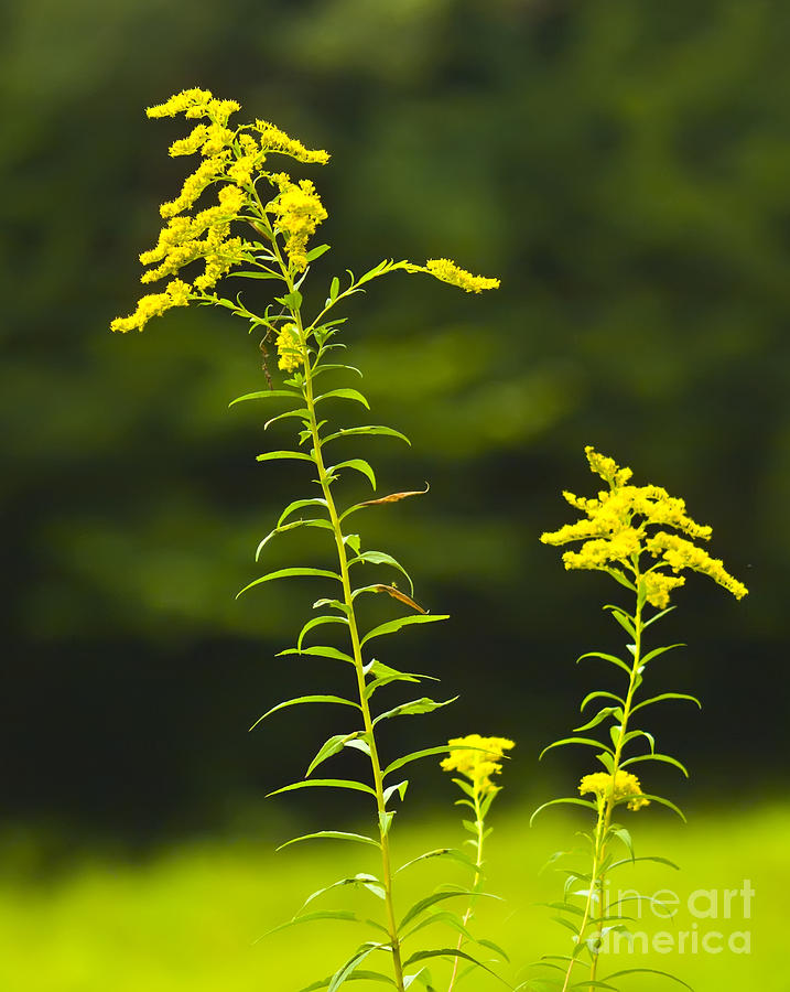 Flowers Photograph - Goldenrod by Pat Carosone