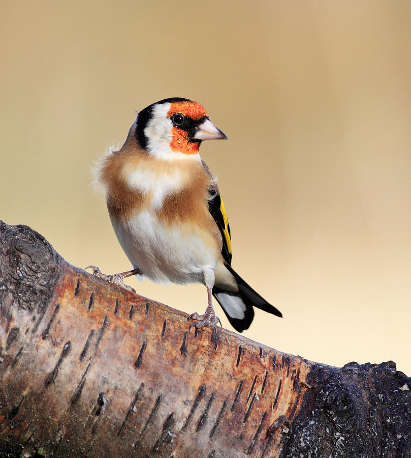 Bird Photograph - Goldfinch by Grant Glendinning