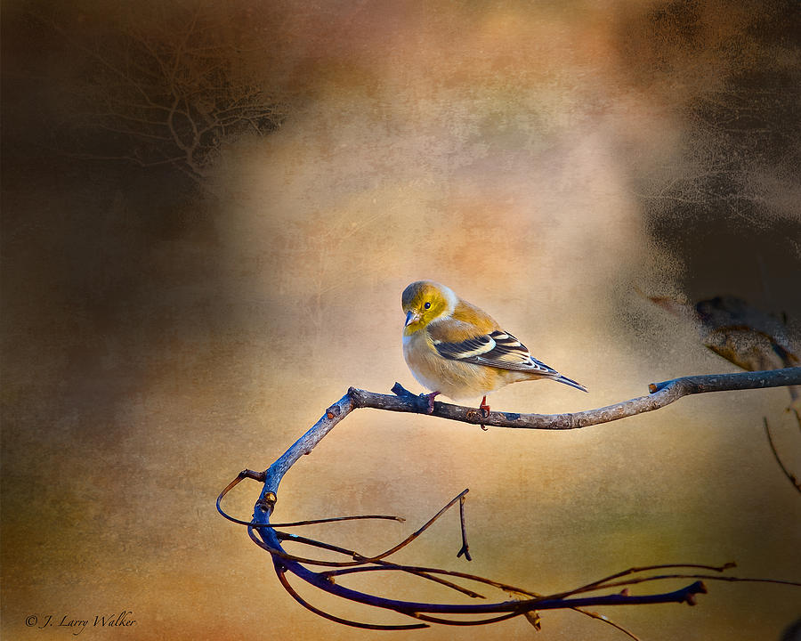 Walker Digital Art - Goldfinch In Deep Thought by J Larry Walker