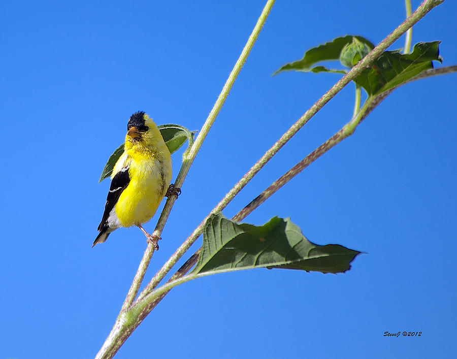Goldfinch Photograph - Goldfinch On Sunflowers by Stephen  Johnson
