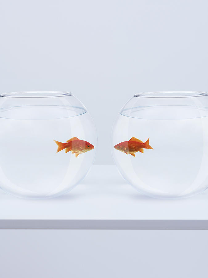 Vertical Photograph - Goldfish In Separate Fishbowls Looking Face To Face by Adam Gault