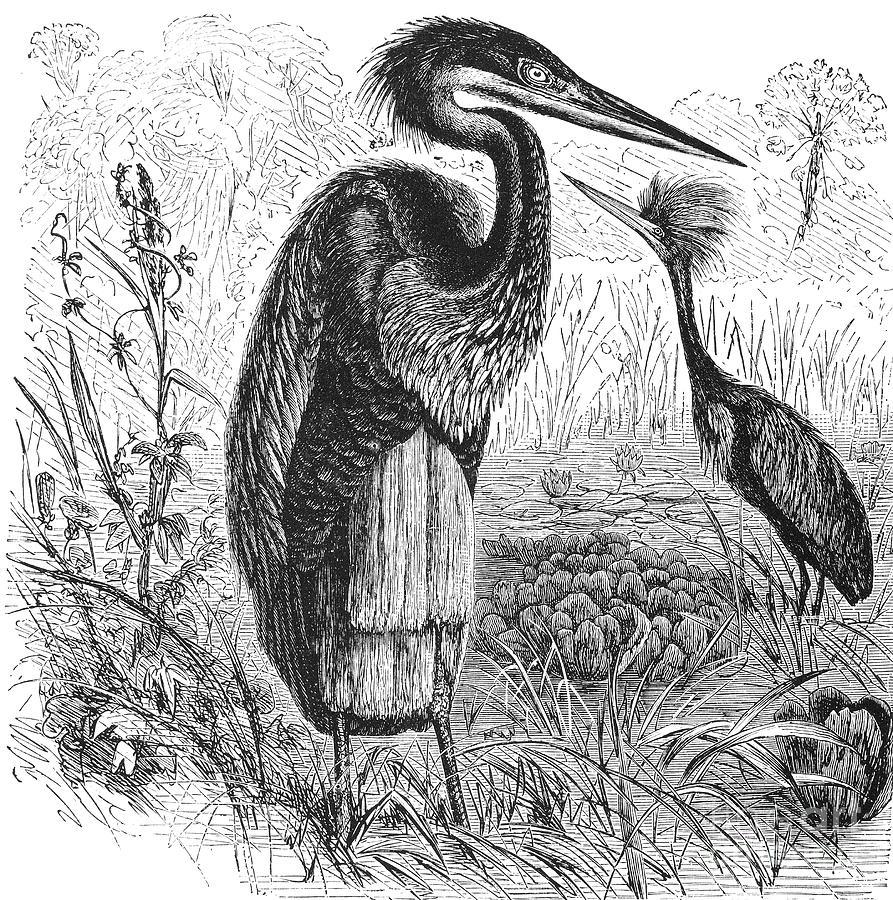 Biology Photograph - Goliath Heron by Granger