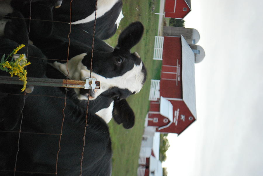 Farms Photograph - Good Morning Bessie by Grace Matson