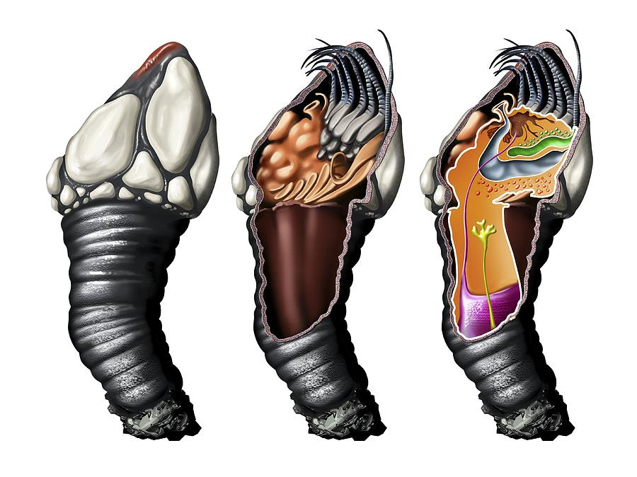 Goose Barnacle Photograph - Goose Barnacle Anatomy, Artwork by Jose Antonio PeÑas
