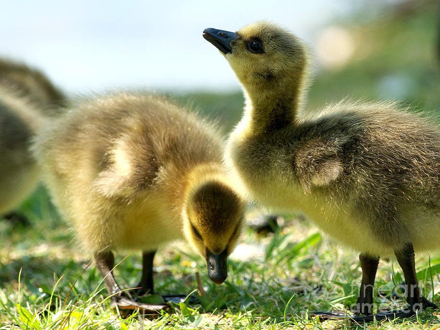 Canada Geese Photograph - Goslings 6 by Sharon Talson