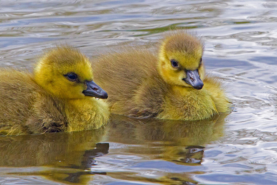 Gosling Photograph - Goslings by David Freuthal