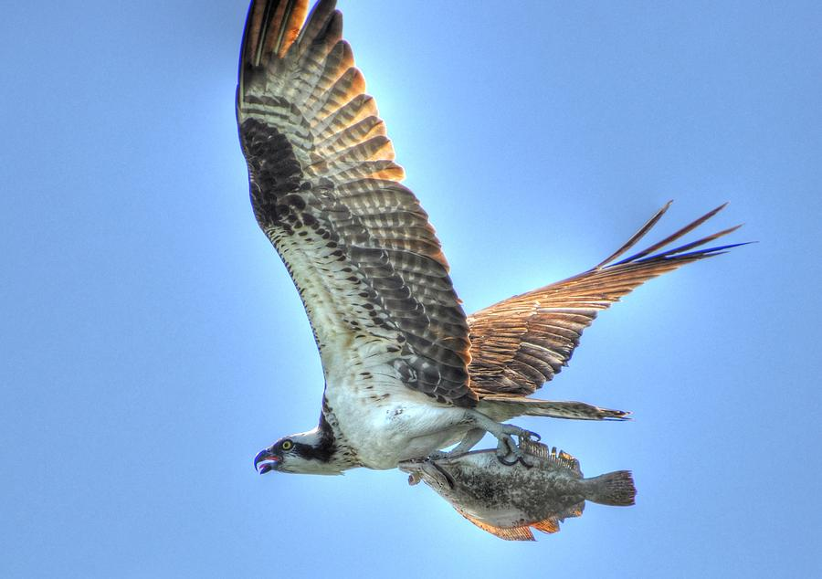 Great Blue Heron Digital Art - Got It by Barry R Jones Jr