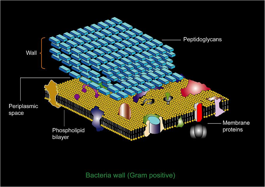 Cell Wall Photograph - Gram Positive Cell Wall, Artwork by Francis Leroy, Biocosmos
