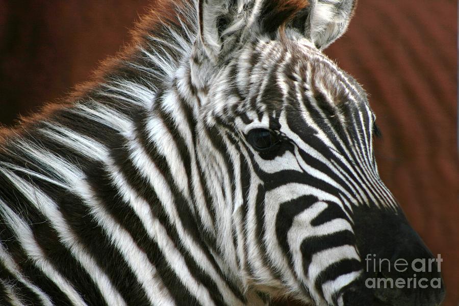 Zebra Photograph - Grant Zebra by Lori Bristow