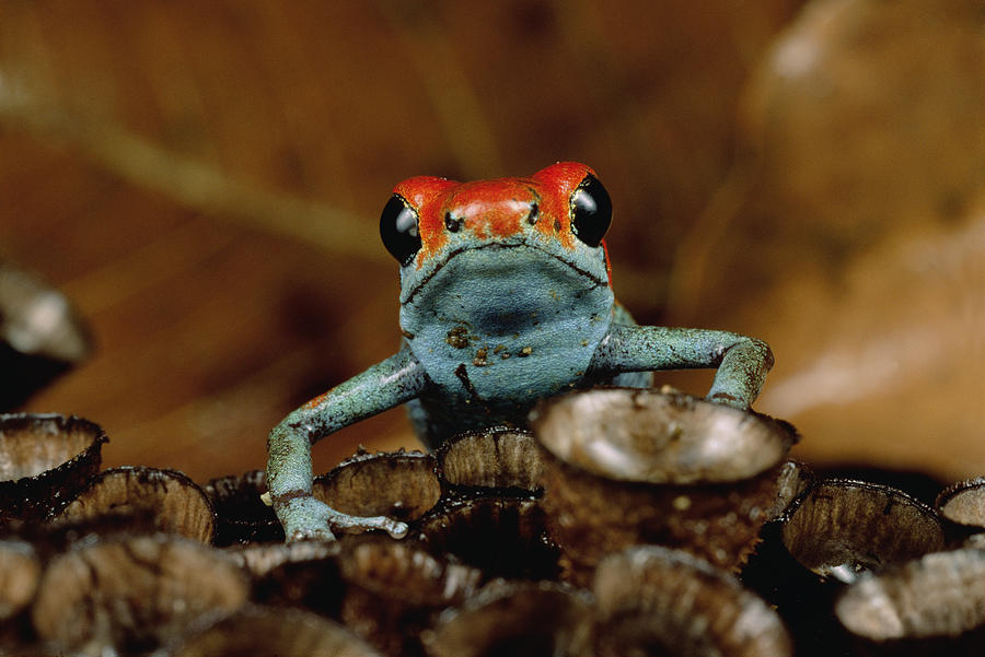 Granular Poison Dart Frog Dendrobates Photograph by Mark Moffett