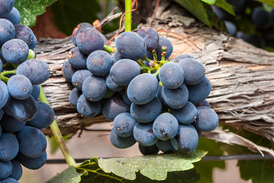 Grape Photograph - Grape Cluster Vine by Dina Calvarese