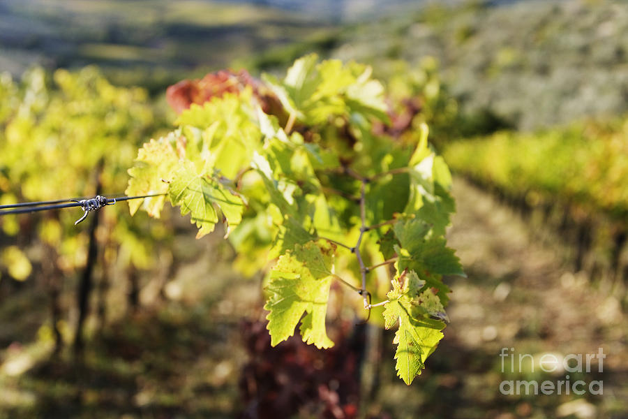 Agriculture Photograph - Grape Leaves by Jeremy Woodhouse