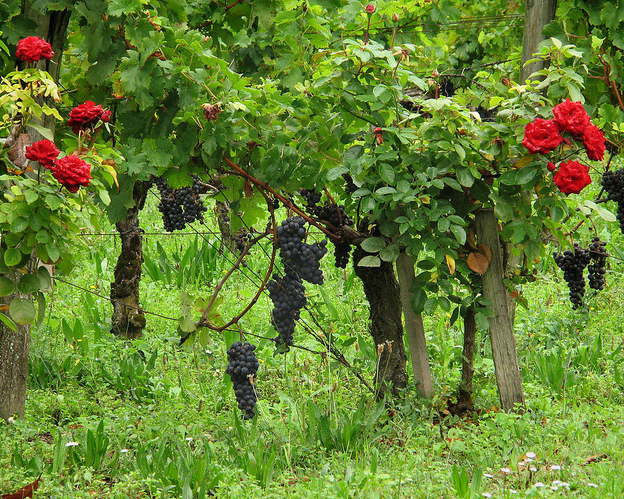 Vineyard Photograph - Grape Vines And Roses I by Greg Matchick
