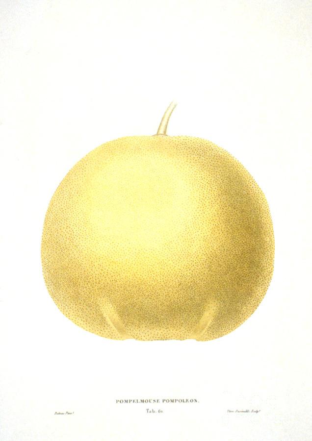 1822 Photograph - Grapefruit by Granger