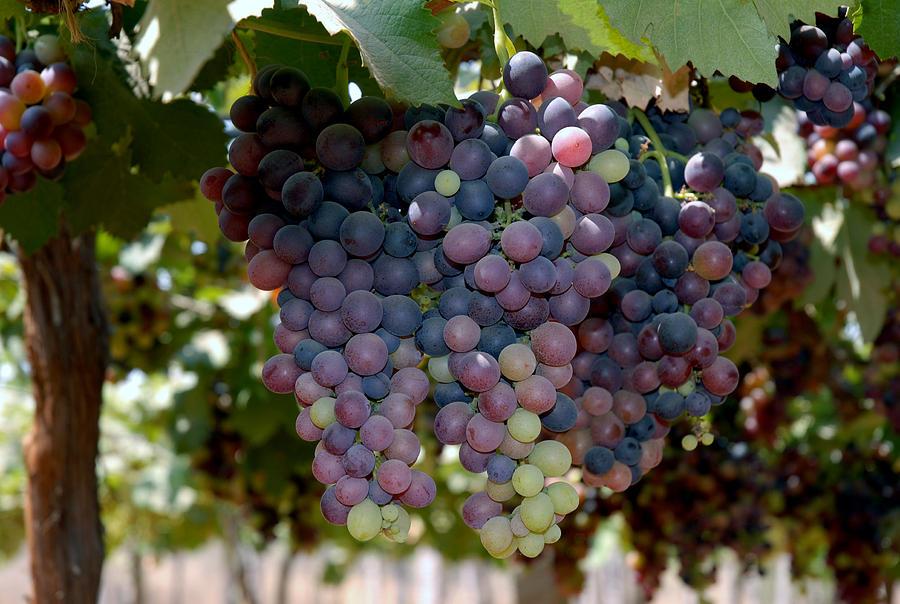 Grapes Bunch Photograph by Johnson Moya