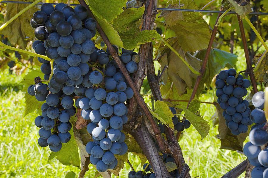 Blue Photograph - Grapes On A Vine Sutton Junction Quebec by David Chapman