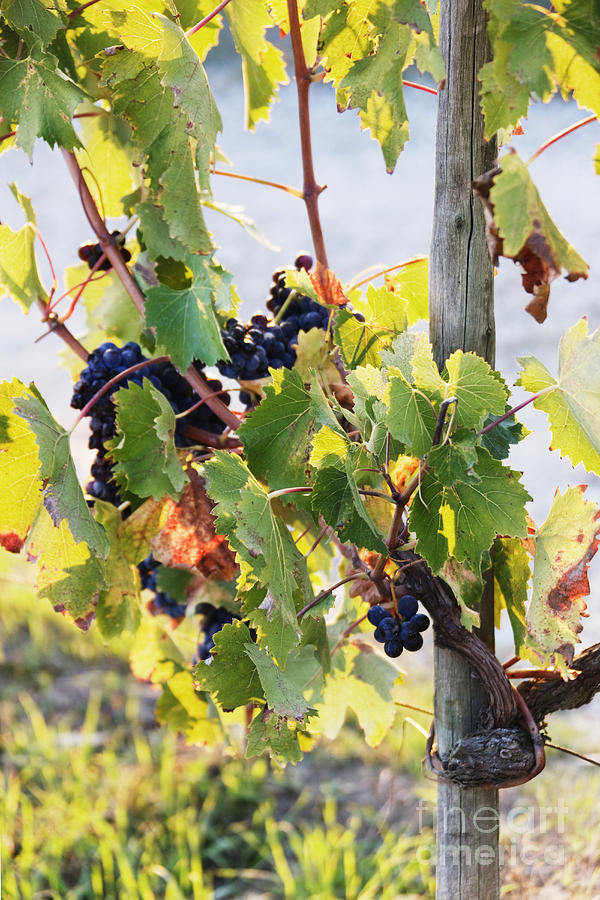 Agriculture Photograph - Grapes On Vine by Jeremy Woodhouse
