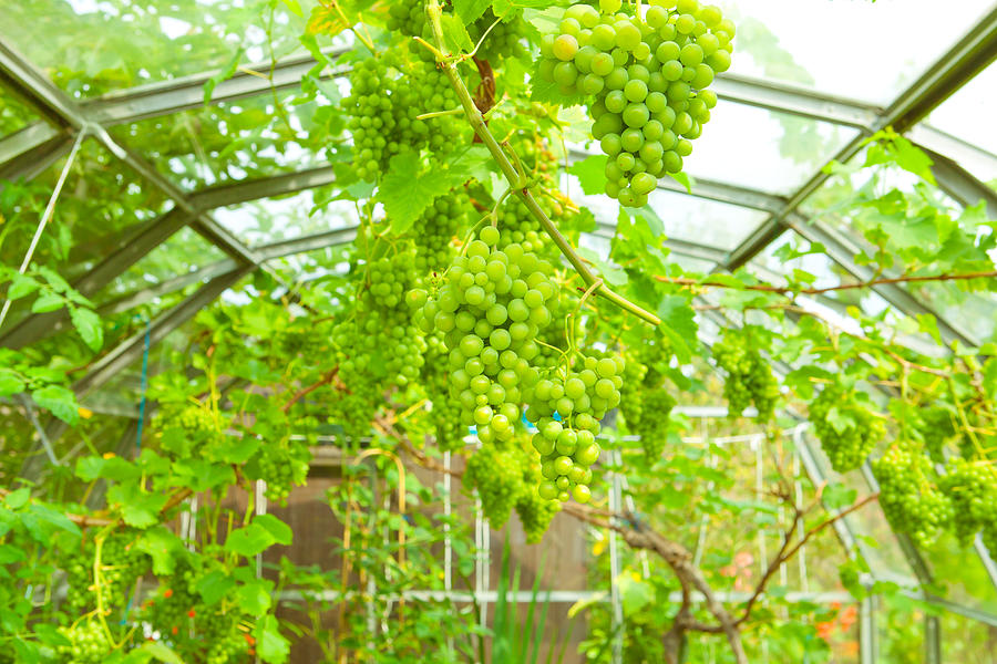 Agriculture Photograph - Grapevine by Tom Gowanlock