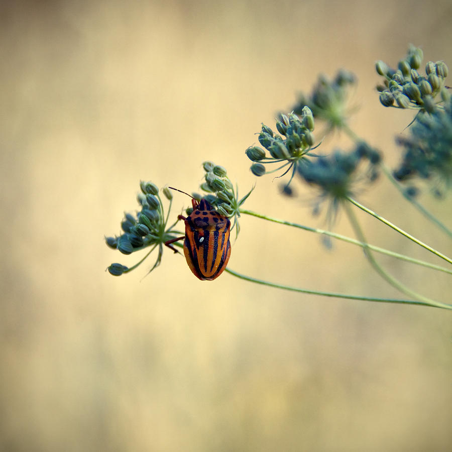 Animal Photograph - Graphosoma Lineatum by Stelios Kleanthous