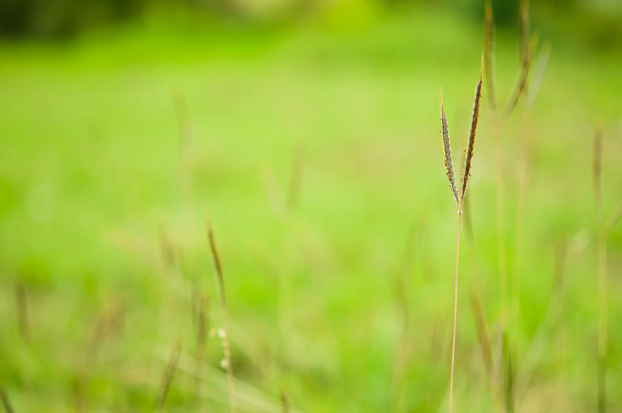 Agriculture Photograph - Grass In Field With Green Background by Kittipan Boonsopit