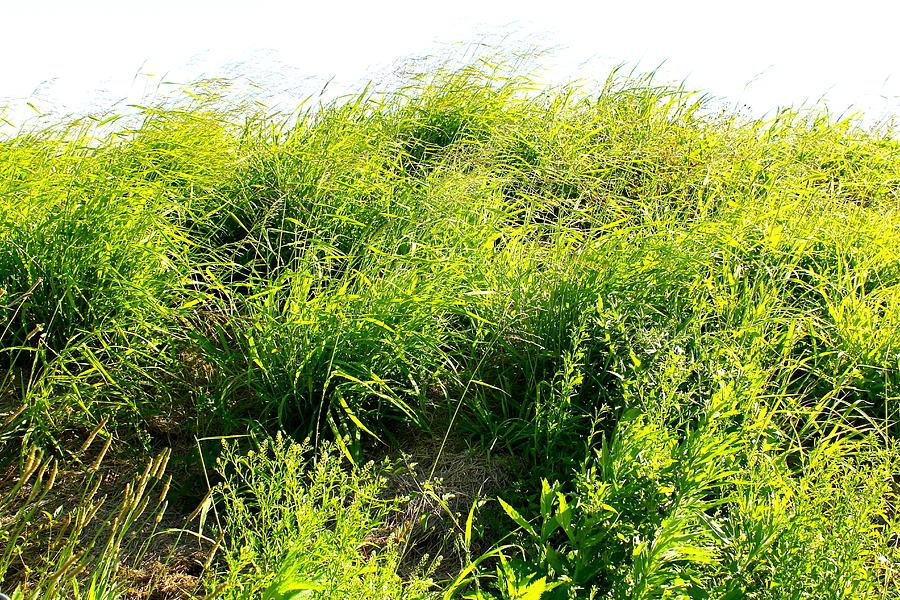 Grass. Nature. Wild. Green. Flowers. Landscape.  Photograph - grass. WILD GRASS by Michael Clarke JP