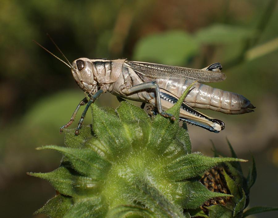 Grasshopper Photograph - Grasshopper by Ernie Echols