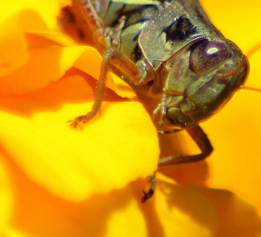Walton Kentucky Photograph - Grasshopper On Yellow by Maureen  McDonald