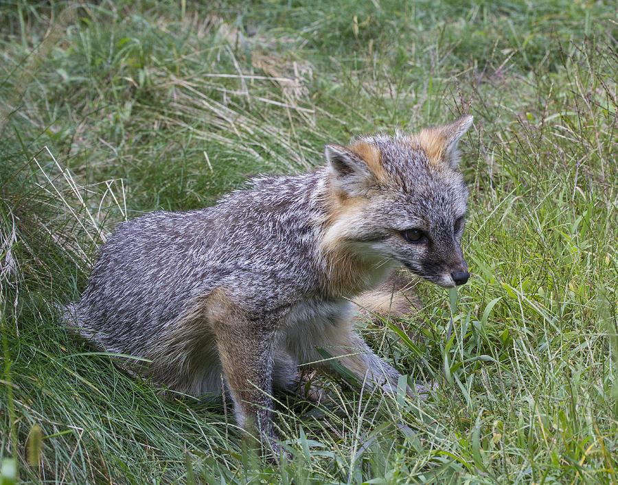 Urocyon Cinereoargenteus Photograph - Gray Fox by Chuck Homler