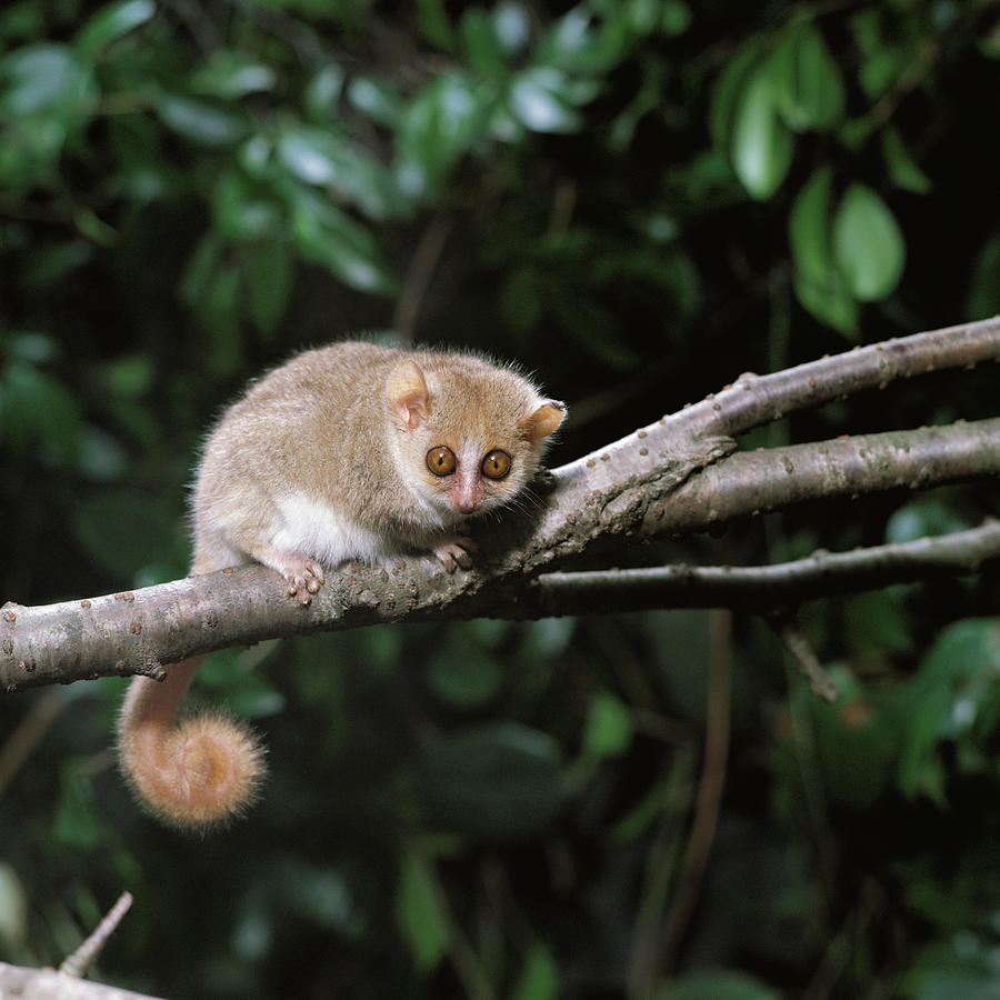 Gray Mouse Lemur Microcebus Murinus Photograph By