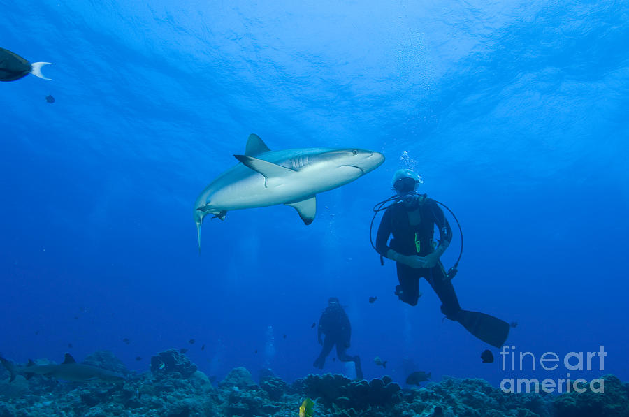 Fish Photograph - Gray Reef Shark With Divers, Papua New by Steve Jones