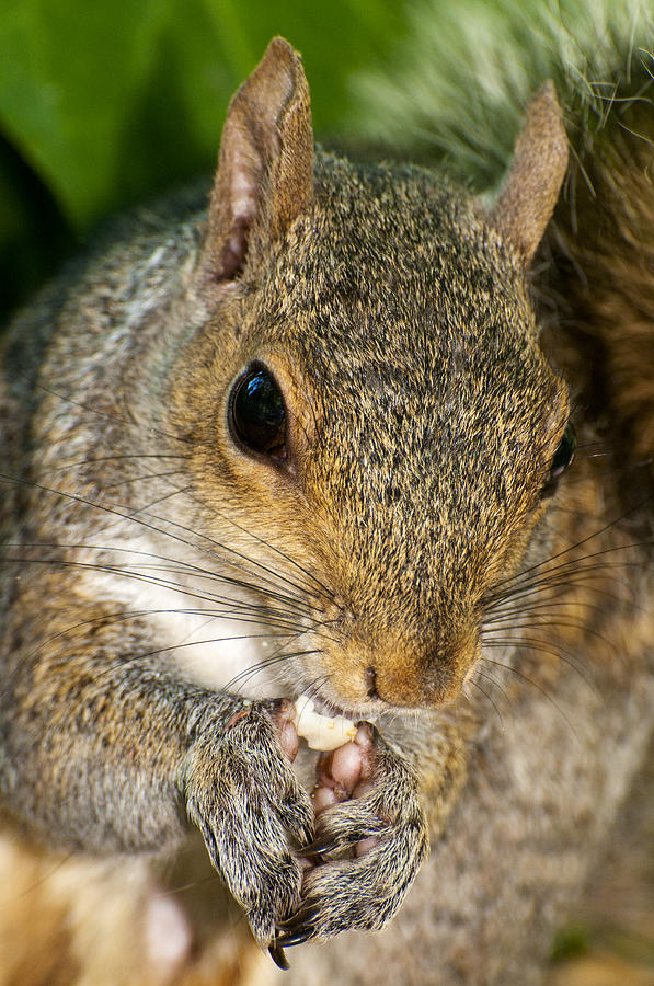 Close Up Photograph - Gray Squirrel by Fabrizio Troiani