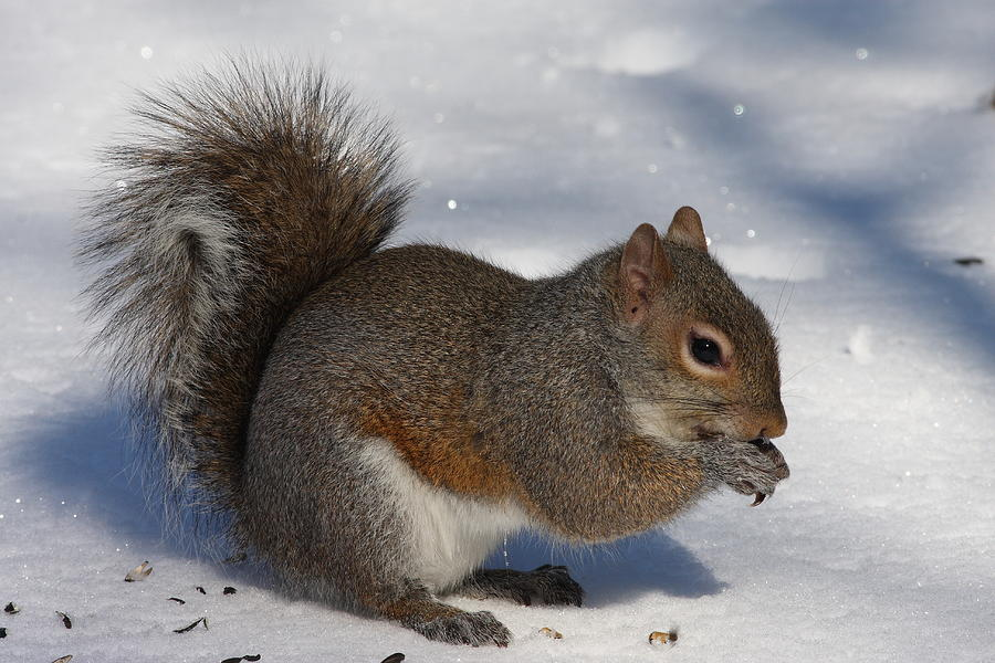Gray Squirrel On Snow Photograph By Daniel Reed