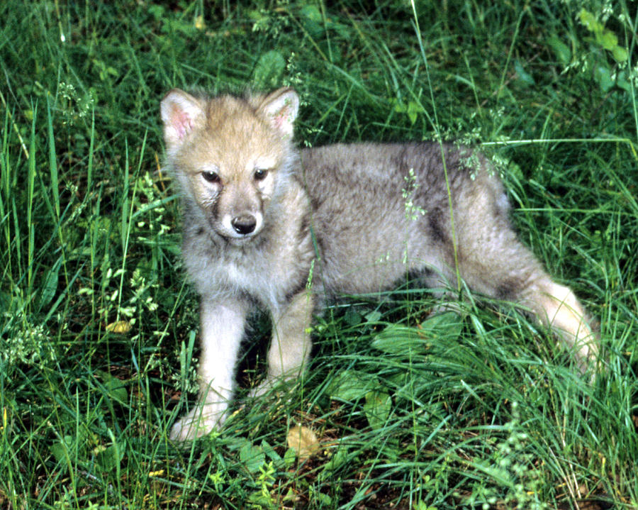 Gray Wolf Cub Photograph By Larry Allan