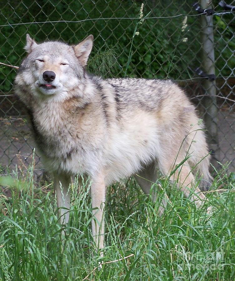 Gray Wolf Photograph - Gray Wolf by Lorrie Bible