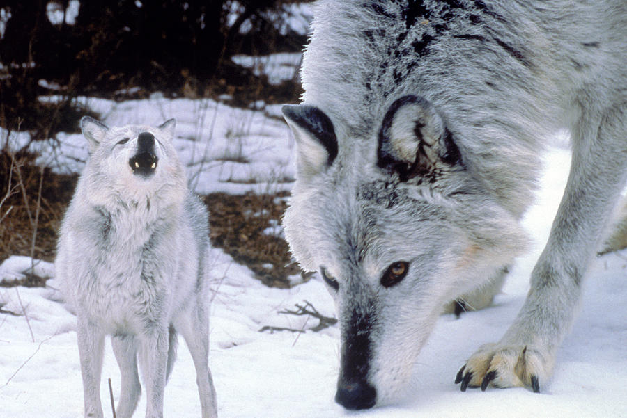 Gray Wolves In Winter Photograph by Larry Allan