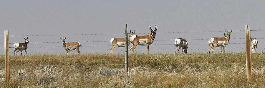 Antelope Photograph - Grazing Antelope by Bruce Bley
