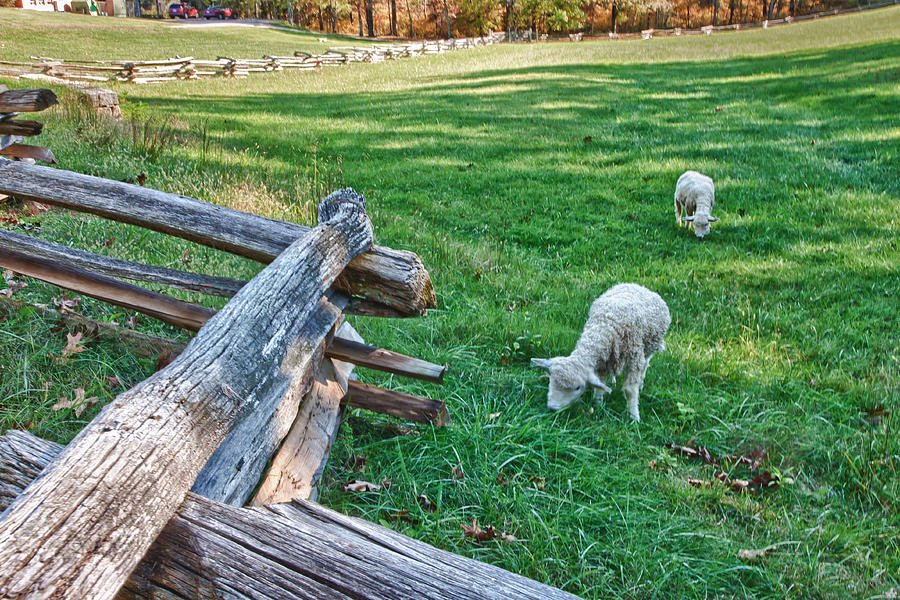 Virginia Photograph - Grazing Farm Animals At Booker T. Washington National Monument Park by James Woody