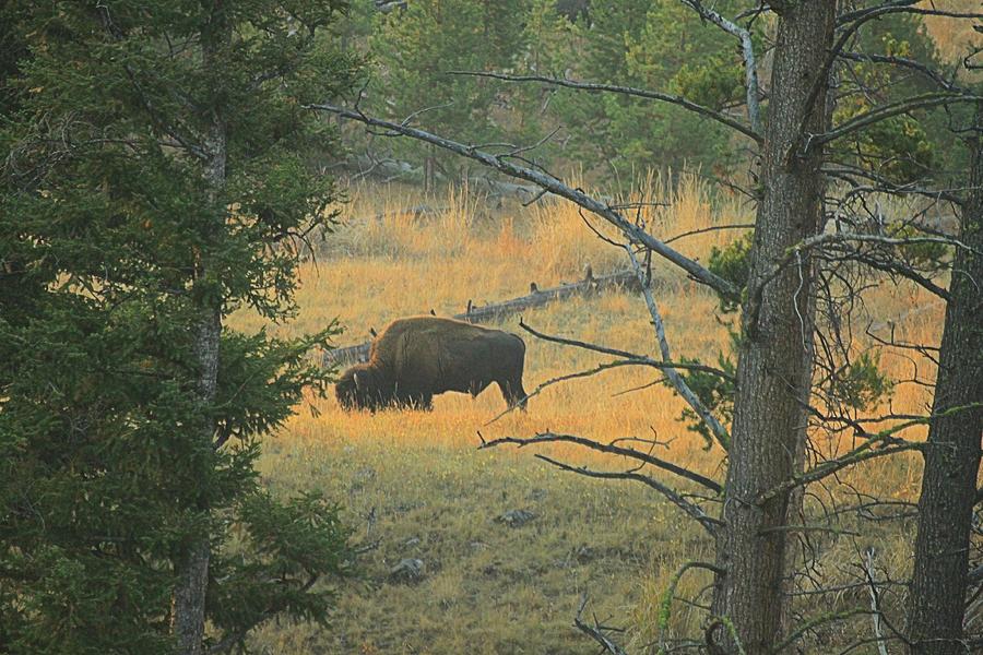 Buffalo Photograph - Grazing In The Mist by Matthew Winn