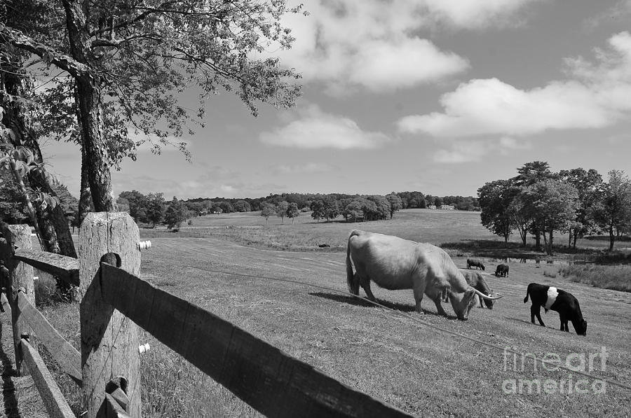 Cattle Photograph - Grazing The Day Away by Catherine Reusch Daley