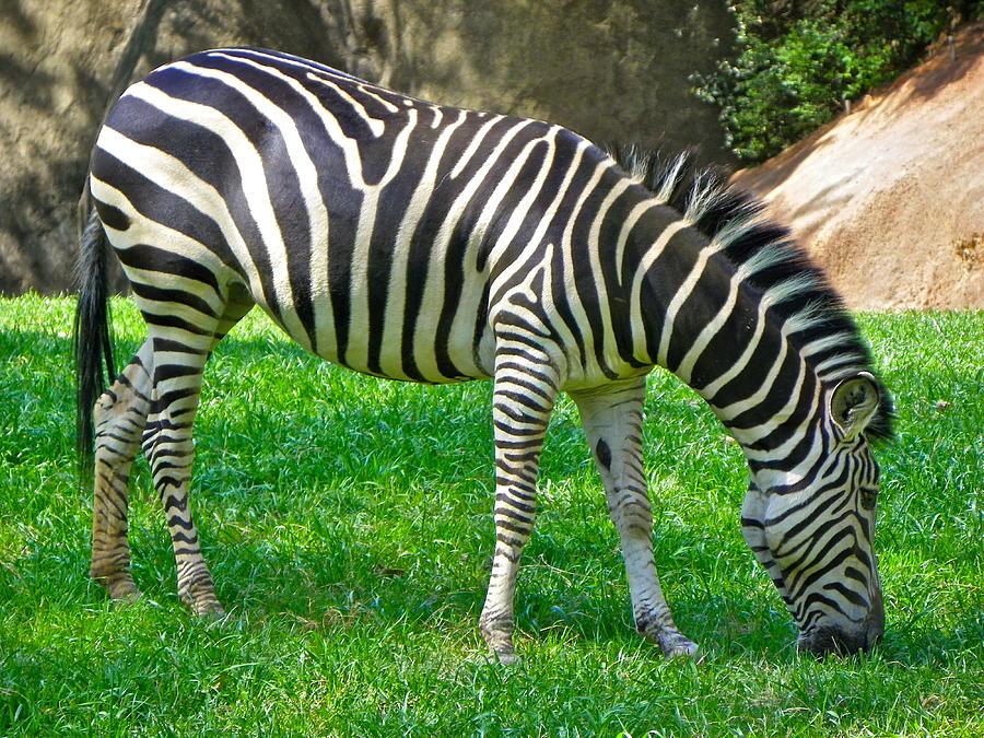 Grazing Zebra Photograph By Eve Spring