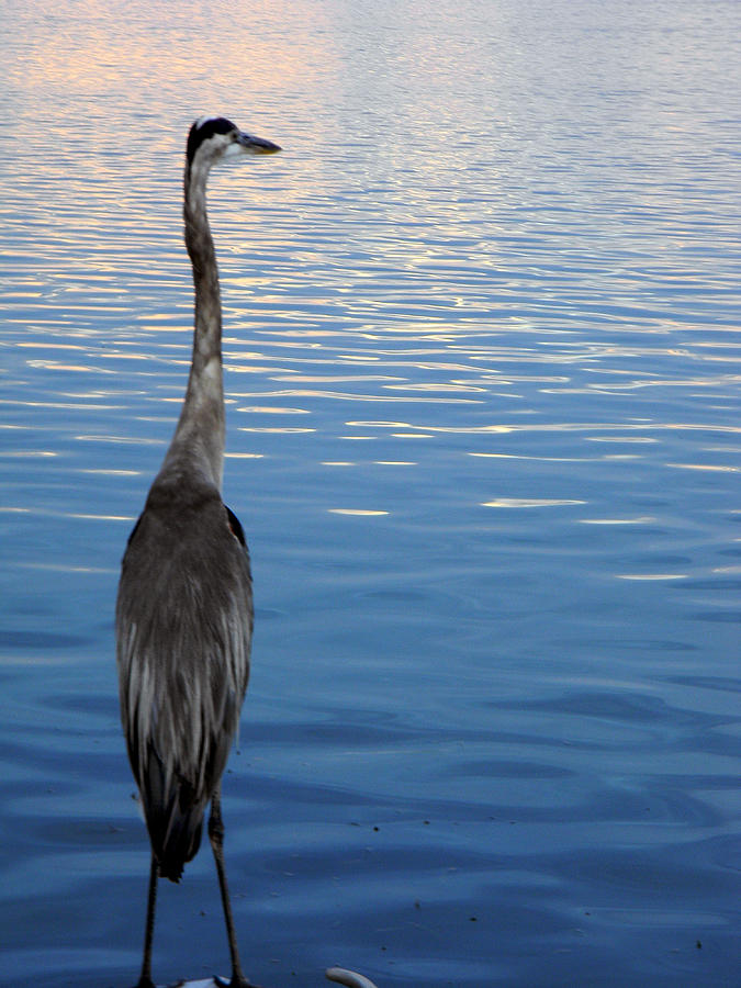Blue Heron Photograph - Great Blue by Christy Usilton
