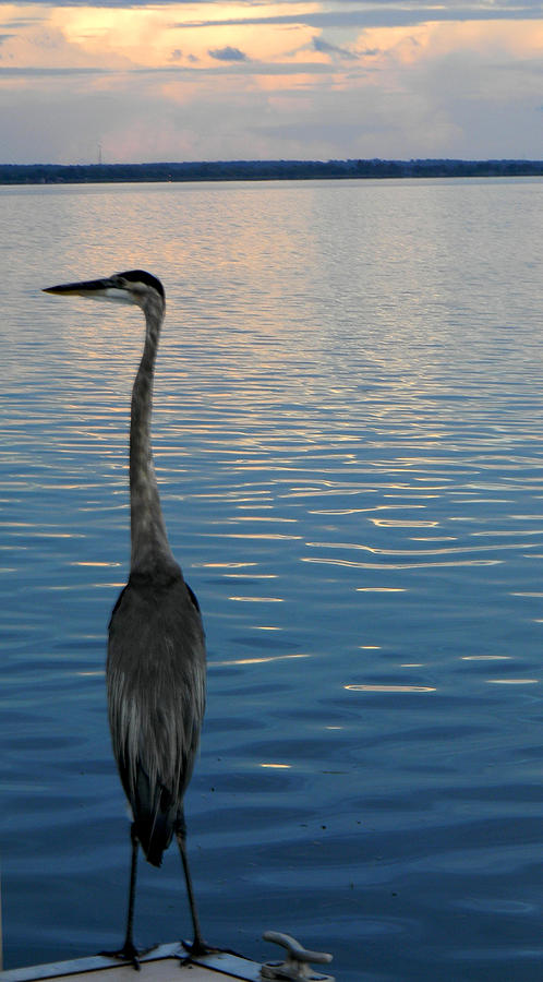 Blue Heron Photograph - Great Blue Dusk by Christy Usilton