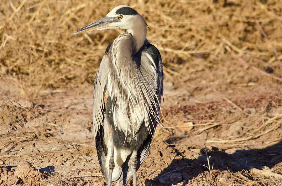Bosque Del Apache Photograph - Great Blue Heron 1 by Harry Strharsky