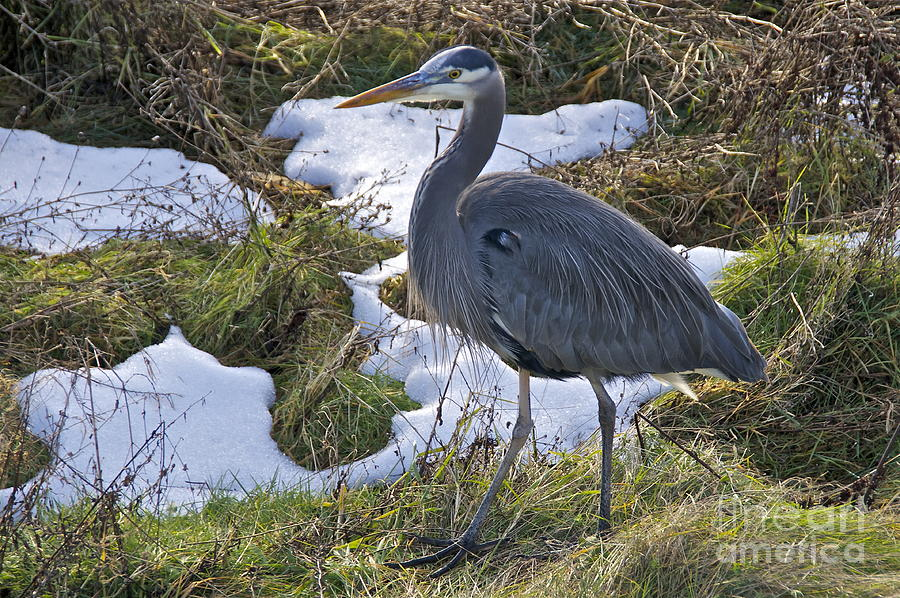 Great Blue Heron 2 Photograph