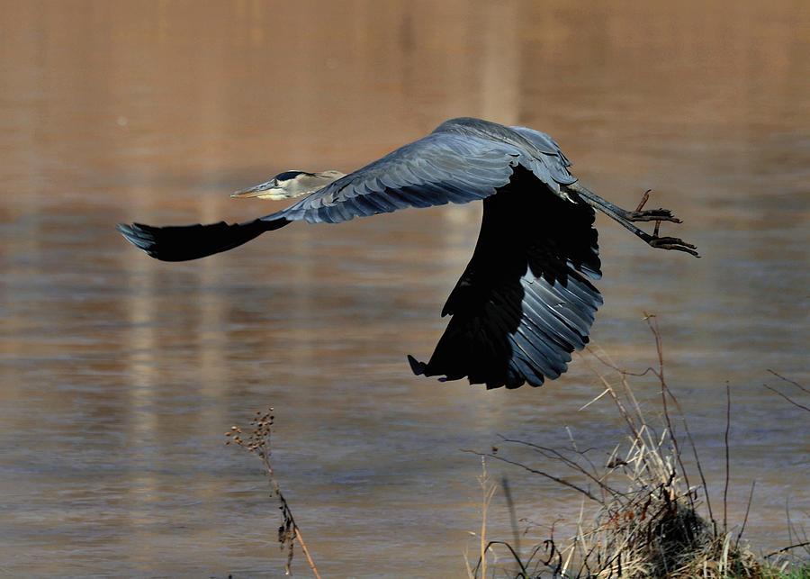 Bird Photograph - Great Blue Heron Flight - C1287g by Paul Lyndon Phillips