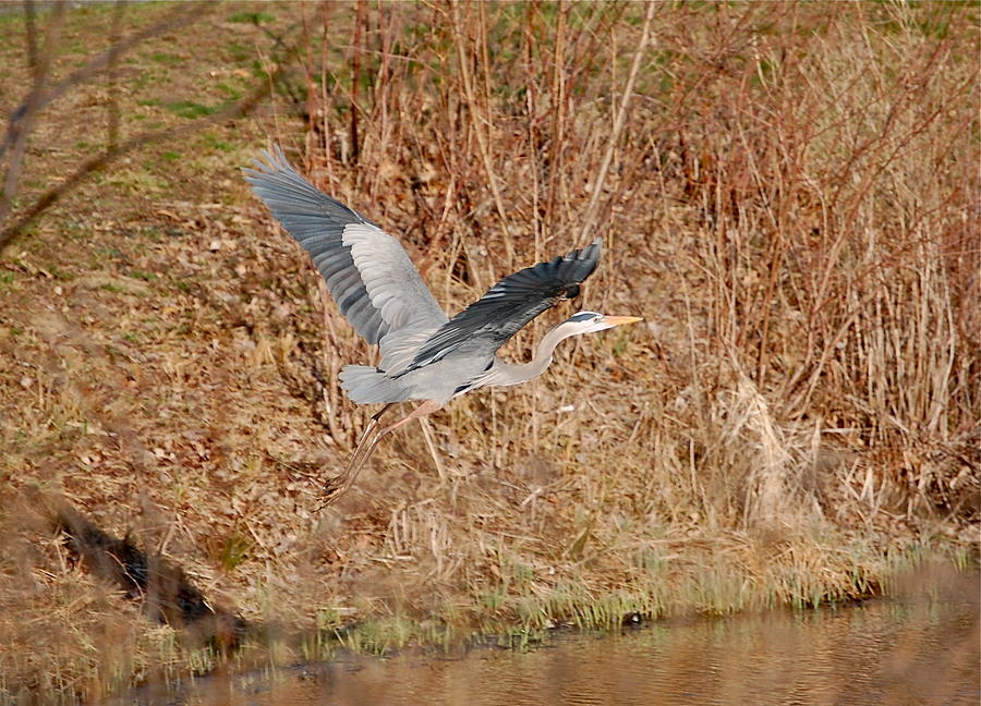 Great Blue Heron in Flight by Mary McAvoy