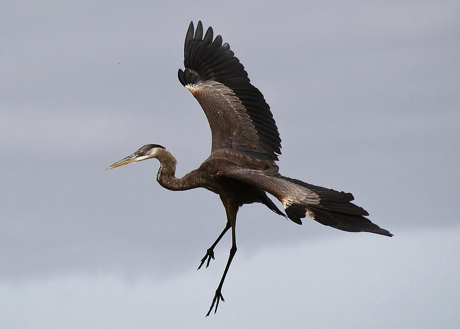 Great Blue Heron In Flight Photograph - Great Blue Heron In Flight by Paulette Thomas